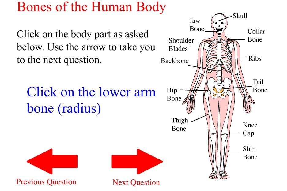 Кости тела человека