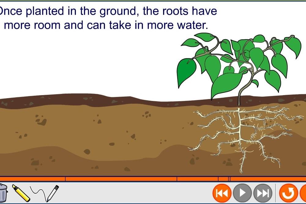 Как высадить растение в грунт