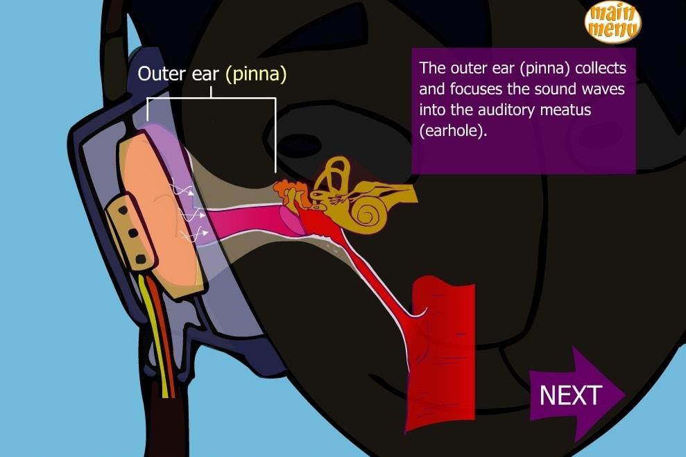 Как работает слух человека